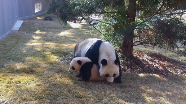 Bao Bao mit Mutter Mei Xiang - Foto: Smithsonian National Zoo